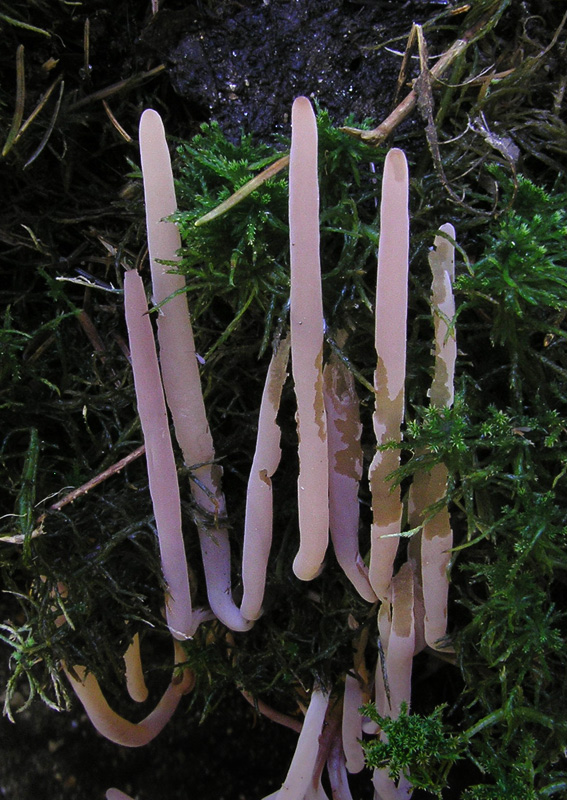 Clavaria purpurea