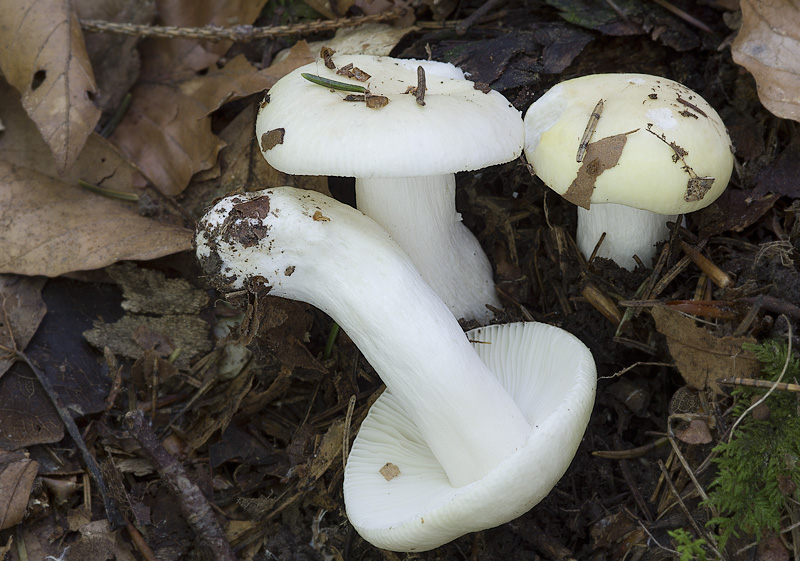 Russula raoultii